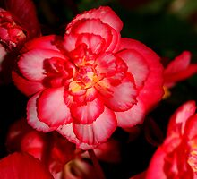 Red Begonia Flower by Carole-Anne