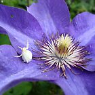 White Spider on Blue Clematis by ukquilter