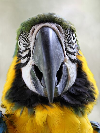 Macaw by jimmy hoffman
