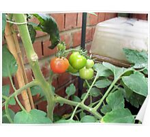 The first ripe Tomato Poster