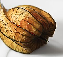 Physalis by Avantgarda