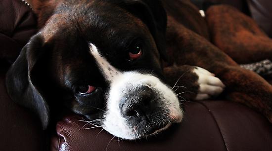 Arwen -Boxer Dogs Series- Update by Evita