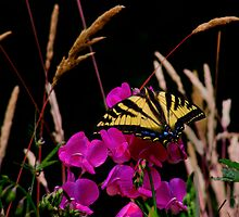 The Big Coverup  ~ Western Tiger Swallowtail Butterfly ~ by Charles & Patricia   Harkins ~ Picture Oregon