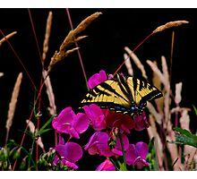 The Big Coverup  ~ Western Tiger Swallowtail Butterfly ~ Photographic Print