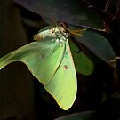 """ The Lunar Moth "" by Diana Graves Photography"