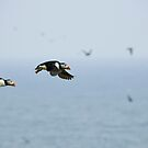 Puffins in flight by Matthias Keysermann