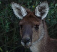 Australian Cutie. Upclose and Personal Young Male Kangaroo.. by Toni Kane