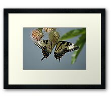 Yellow flutters..... Framed Print