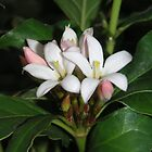 Mitriostigma axillare flowers also called African Gardenia by Linda Gleisser