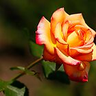 nice rose by Manon Boily