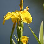 Yellow Iris #2 - Floral by Melodie Douglas