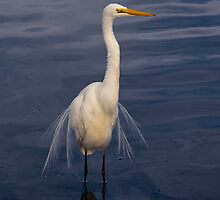 INTERMEDIATE EGRET   1 by DIZZYHEIGHTS