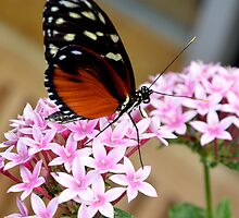 Heliconius by redscorpion