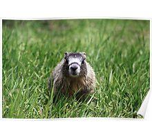 Marmot Pup Poster