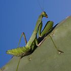 Mantis Religiosa by Glynn May