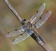Four Spotted Chaser by Gill Langridge