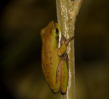 Eastern dwarf tree frog Peregian Beach by harper white