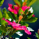 Hibiscus Flower by Julie Everhart