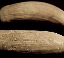 Sperm whale teeth Fiji origin relic ivory by harper white