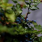 Blue Berries by Kelli Dubay