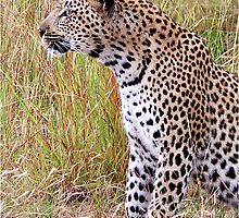 PERFECT CREATION - THE LEOPARD - Panthera pardus by Magaret Meintjes