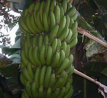 Magnificent Bananas grown in our garden by pinetrees