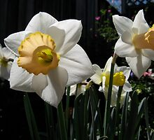 Yellow & white trumpet daffodils by Laurel Eby
