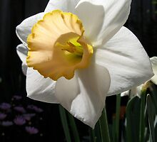 White & yellow trumpet daffodil by Laurel Eby