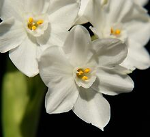 White & yellow paperwhites by Laurel Eby