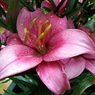 Dusky Pink Lily by BlueMoonRose