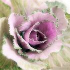 Ornamental Cabbage by Linda  Makiej Photography