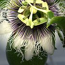 Passion Flower by Lani Chipman