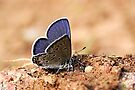 Common Blue - Polyommatus icarus (Male) by Lepidoptera