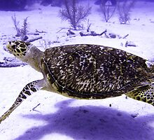 Swimming Hawksbill Turtle by SerenaB