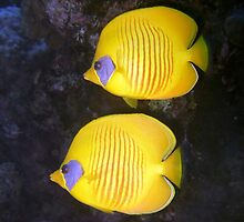 Pair of Yellow Butterflyfish by SerenaB