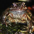 Common Garden Frog by AnnDixon