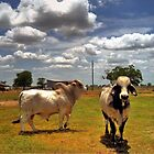 Brahman  Bulls by venny