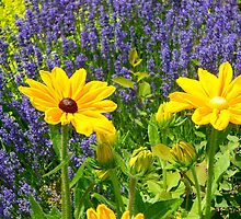 Black eyed susans against Lavendar... by RichImage