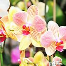 Sweet Pink Blooming  Orchids by exoticflowing