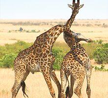 Maasai Giraffes. Males Necking. #2. Maasai Mara, Kenya   by Carole-Anne