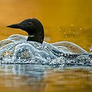 Bubbling Loon by Bill Maynard