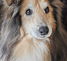 Sheltie by JaninesWorld