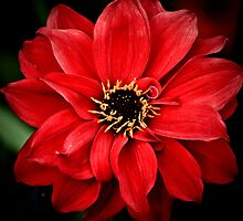 Crimson red by Mandy Brown