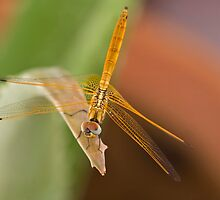 Dragon Fly by upadhyay