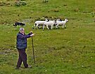 Sheep herding in Couty Kerry Ireland by Yukondick