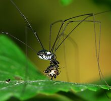 harvestman having meal by davvi