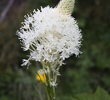 Indian Basket Grass by Alyce Taylor