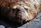 """""""A Face Only a Mother Could Love."""" Male Southern Elephant Seal  by Carole-Anne"""