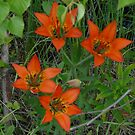 Quad Tiger Lilies by MaeBelle