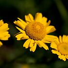 Yellow Flowers by Helder Ferreira